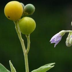 flora nativa de Argentina Fumo bravo Solanum granulosum-leprosum