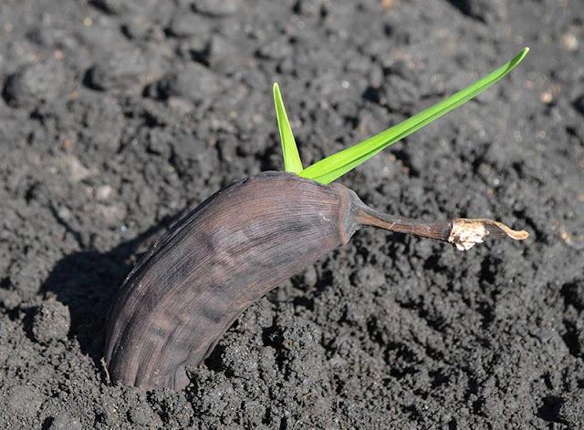 Sıradan rezene: tohumdan büyüyen 38