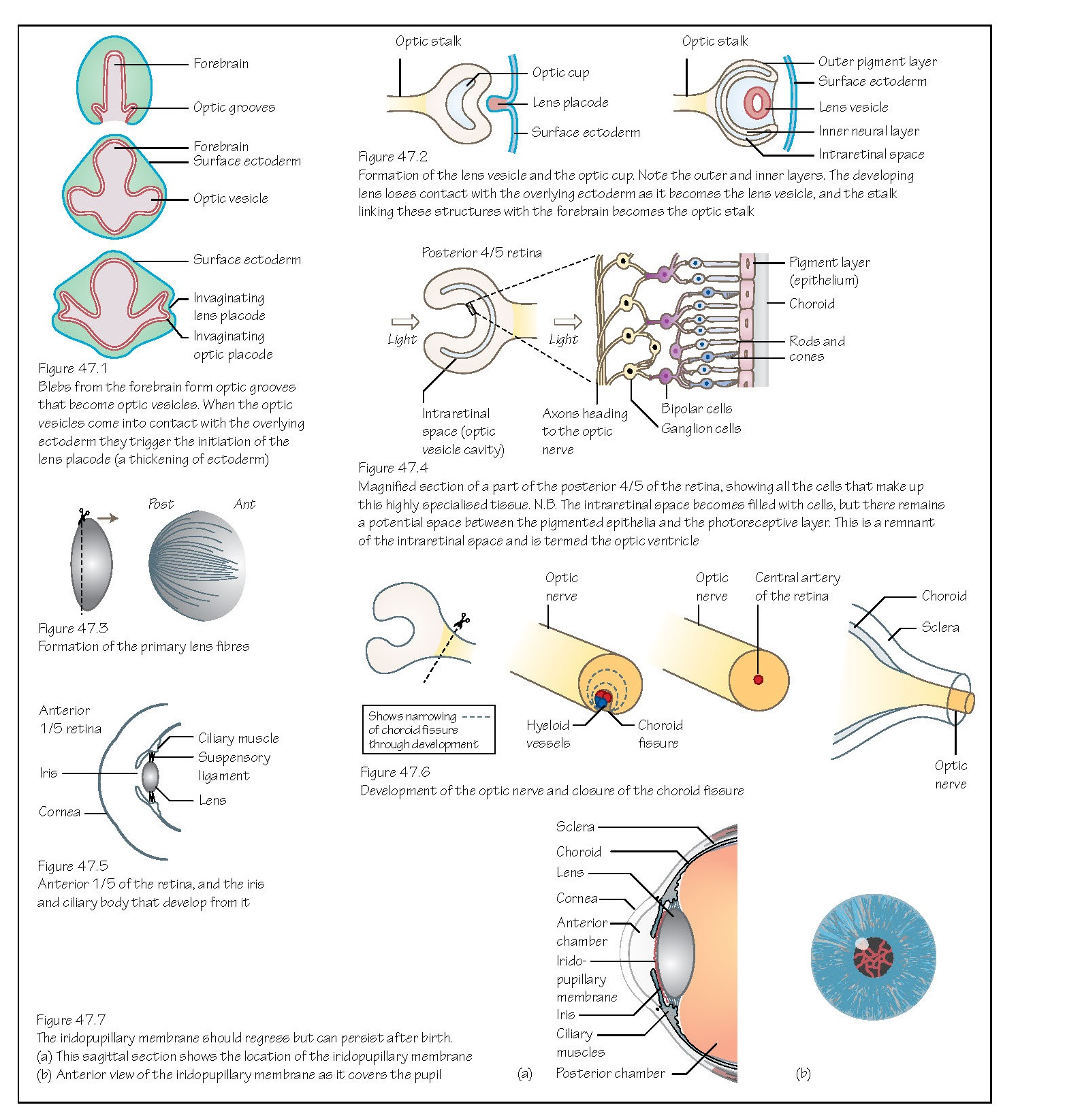 The Eye, Optic cup and lens, Retina, Optic nerve, Meninges, Cornea, Extraocular muscles,