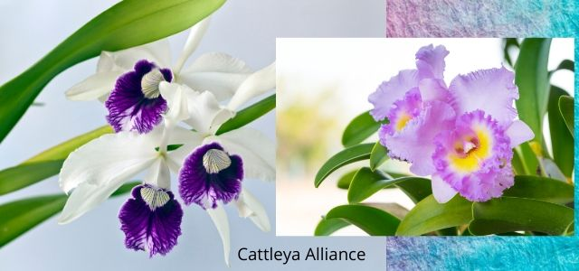 Cattleya Species and new Hybrids Cattleya Alliance