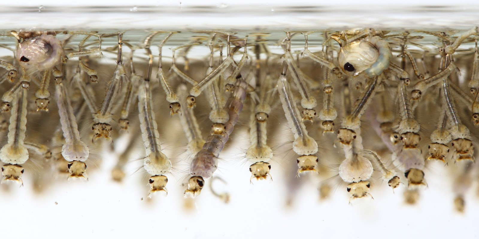 Virginia Tech Ichthyology Class Mosquitofish The Wrong