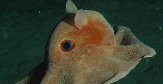 Estranho Polvo-Dumbo aparece pela 1ª vez em vídeo a 7km de profundidade