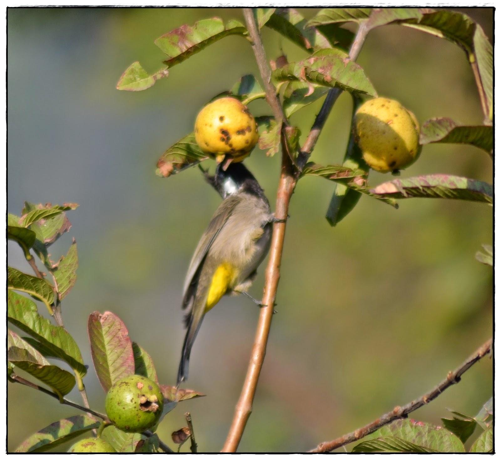 Himalayan Bulbul, Guava,
