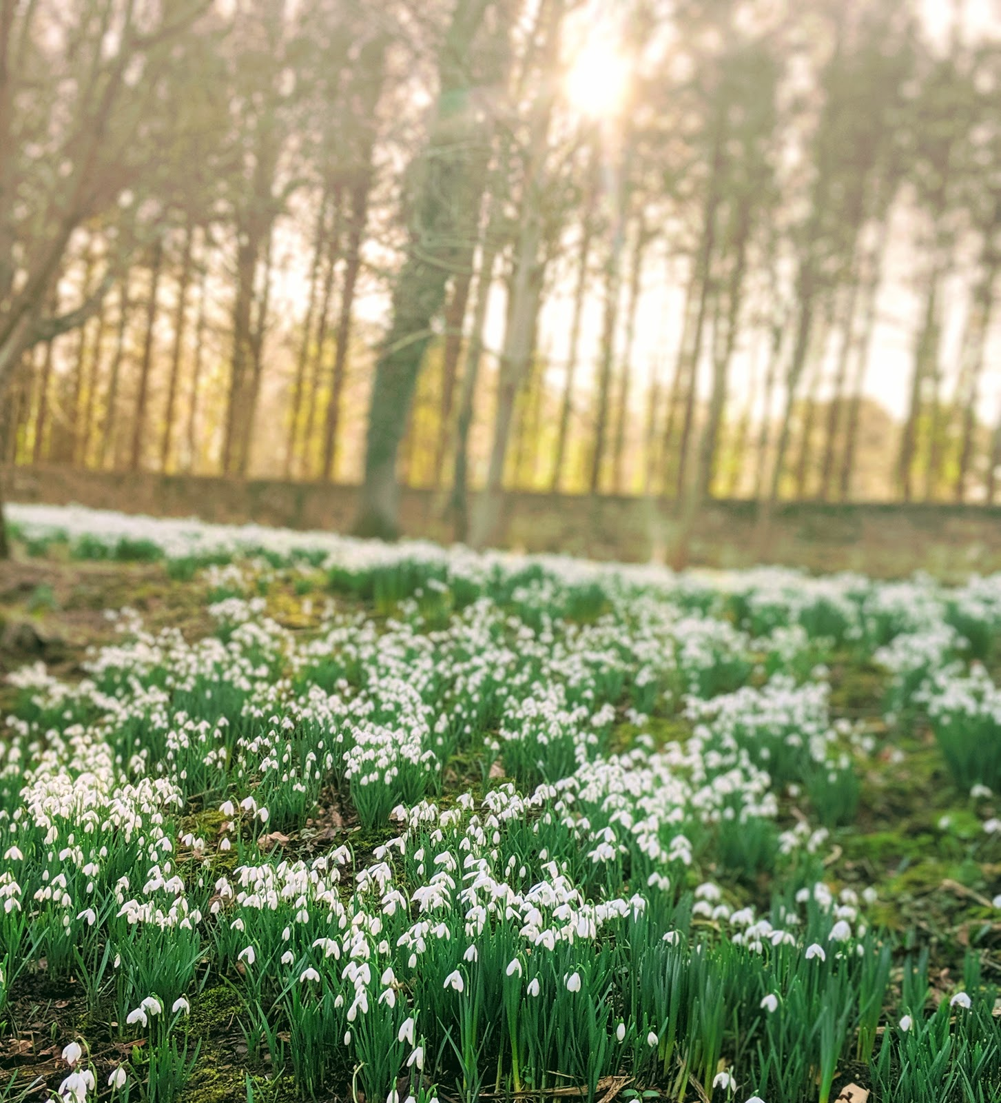 Howick Hall Snowdrop Walk & Sensory Garden - snowdrops