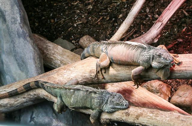 Leguane im Luisenpark Mannheim