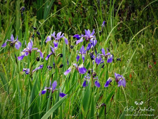 Iris versicolor Photo