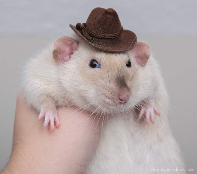 Jasper the rat in a cowboy hat