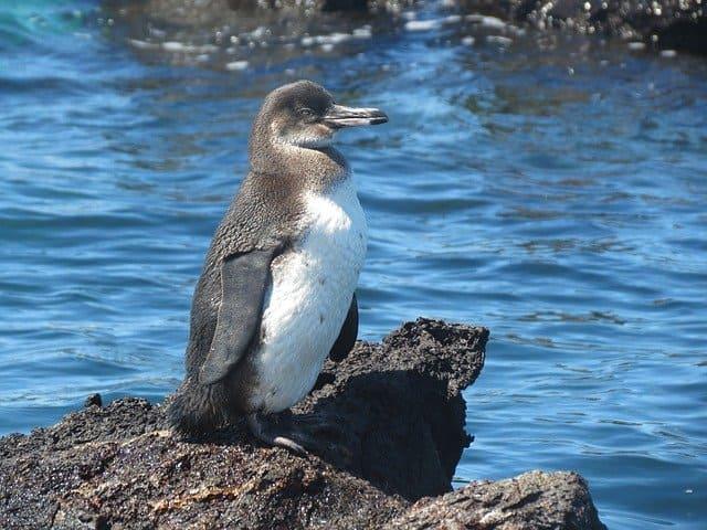 pinguino ecuatorial