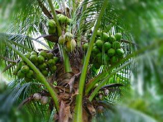 cara-memetik-buah-kelapa.jpg