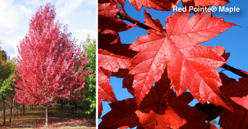 Grass Pad Red Pointe Red Maple Tree