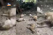 Teror Anjing Liar, Mangsa Puluhan Ternak Di Tuban