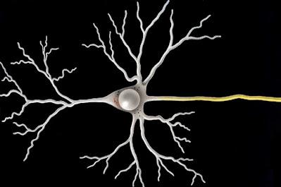 Neurona multipolar