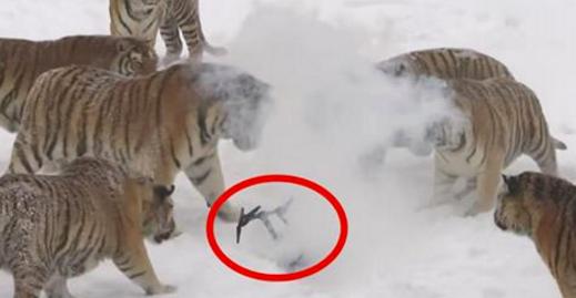 Quand les tigres voient ça, ils se rapprochent lentement. Puis ils sautent dessus et n'en font qu'une bouchée. Les images sont fascinantes!