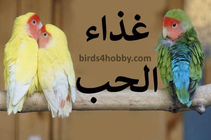 أكل طيور الحب,طيور الحب البادجي,عش طيور الحب,تربية طيور الحب في المنزل,طيور الحب ويكيبيديا,طيور الحب الهولندي,أنواع طيور الحب,كيف اجعل طيور الحب تبيض,تزاوج طيور الحب,