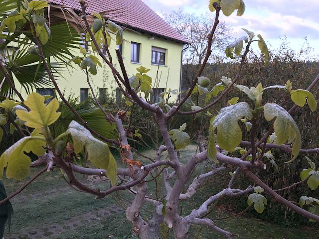 Feigenbaum nach  Frostnacht (c) by Joachim Wenk