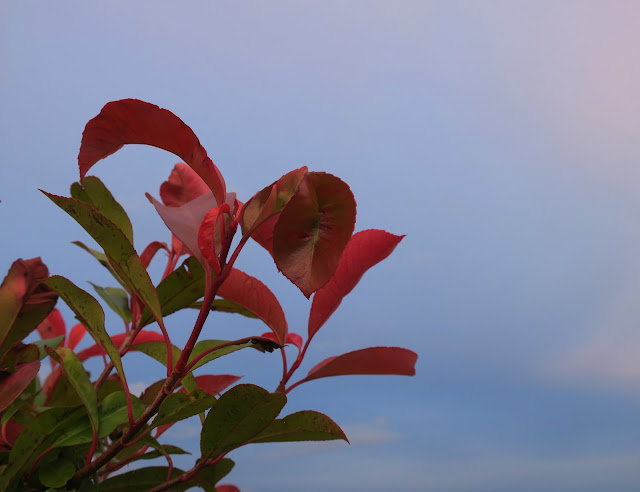 Red leaves on bush with sky behind.