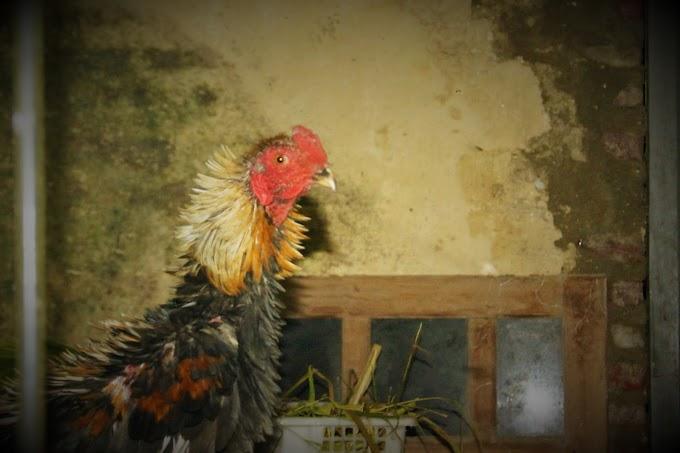 Ayam Walik Jantanku...