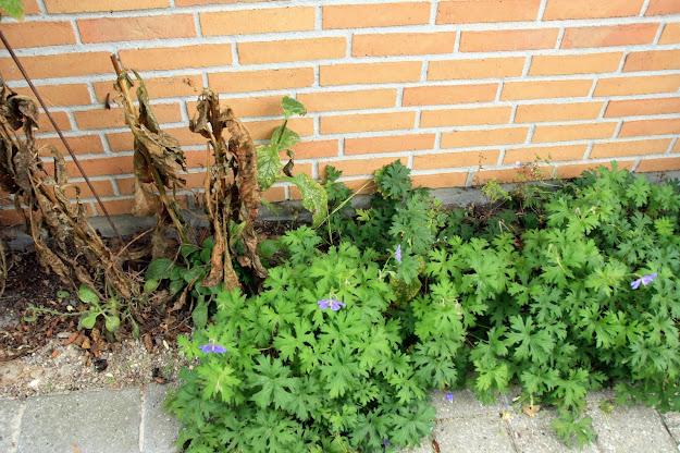 De visne planter er nogle digitalis