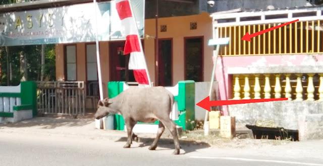 Ternak Kembali Banyak, Berkeliaran Di Jalan Umum, Berbahaya Bagi Pengendara