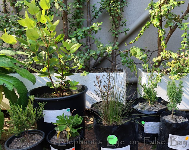 Seven new lowland fynbos plants