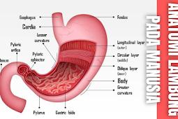 Anatomi Lambung Pada Manusia