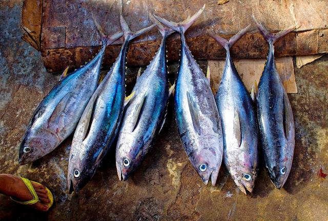 Ikan Tongkol | Jenis Ikan Yang Mengandung Protein Tinggi