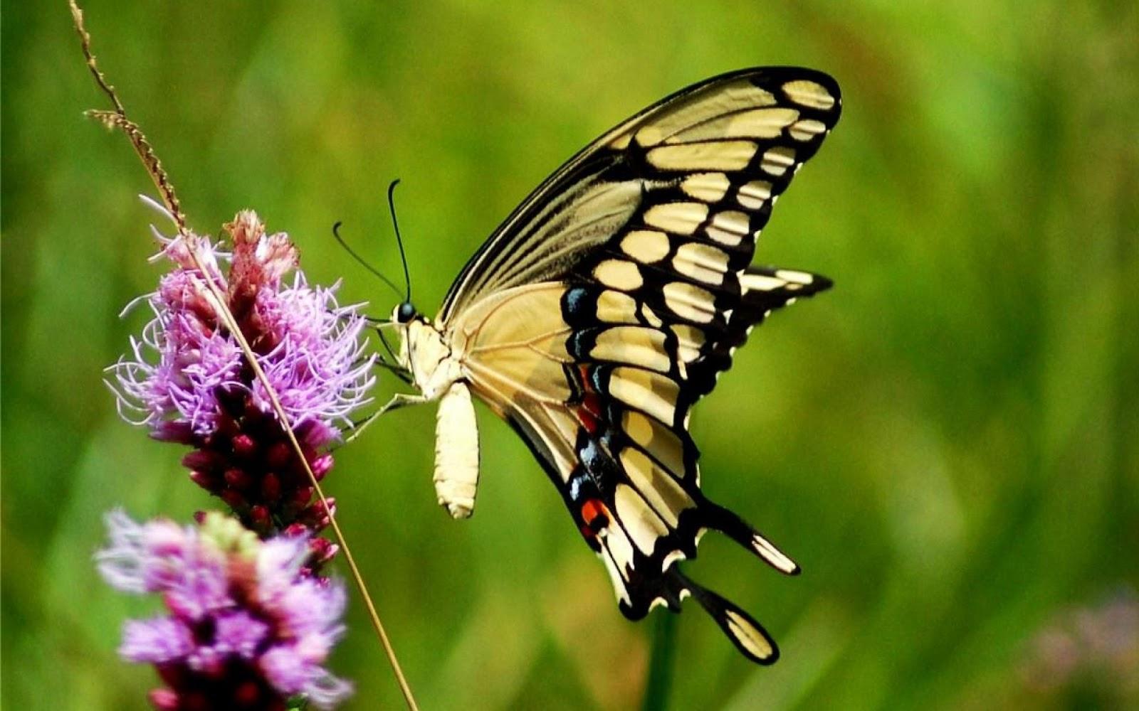 7 Wallpaper Kupu Kupu Keren Butterflies Wallpaper HD Digital Baca