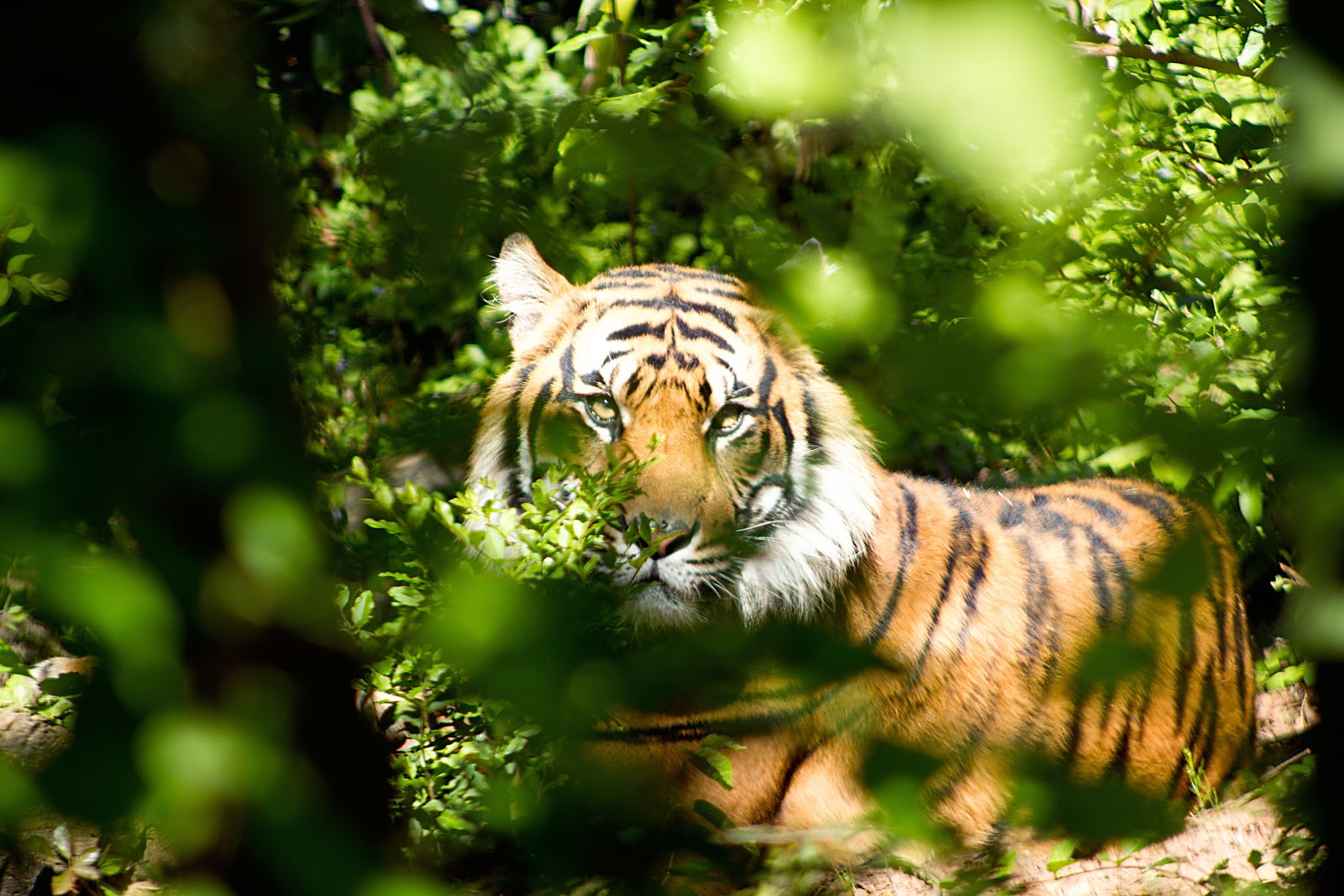 tiger-through-green-leaves-during-day-images