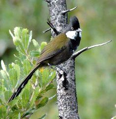 Burung eastern whipbird (Psophodes olivaceus)