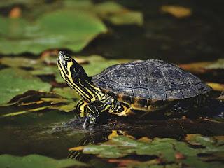 membuat-kolam-kura-kura.jpg