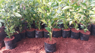 Jual pohon teh tehan pagar di bogor - tukang rumput bogor