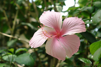 Tukang taman surabaya bunga rosella