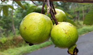 Little Known Ways to Guava Benefits,health benefits of guava