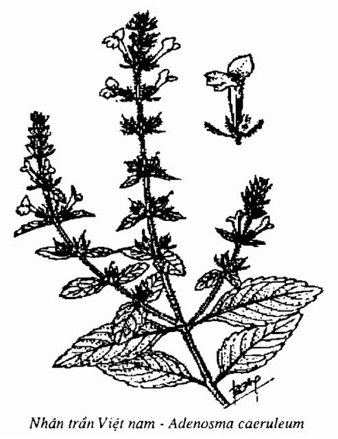 Hình vẽ Nhân trần Việt nam - Adenosma caeruleum - Nguyên liệu làm thuốc Chữa Cảm Sốt