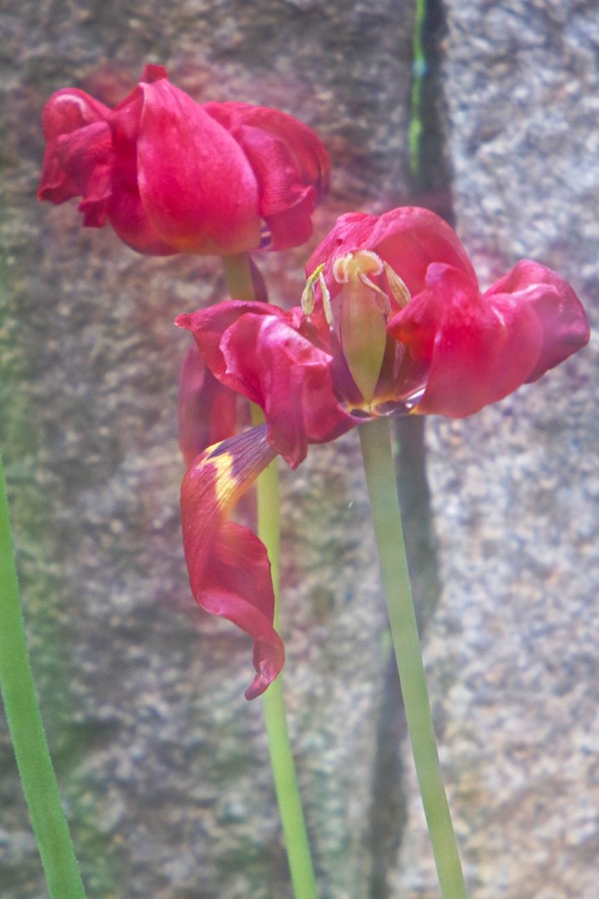 Bild des Tages #82 - Abschied von den glühenden sieben Tulpen