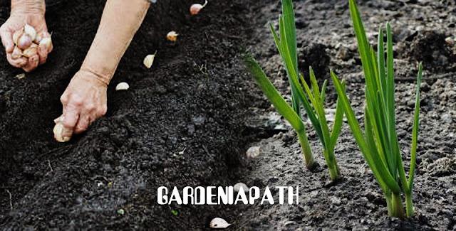 Garlic: Growing tips ,