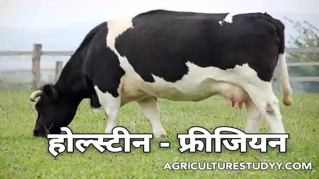 होल्स्टीन - फ्रीजियन नस्ल की गाय की पूरी जानकारी