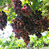 Novas variedades de uva vão aumentar ganhos de irrigantes do Vale do São Francisco
