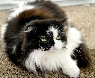 اسعار قطط الهملايا في الرياض