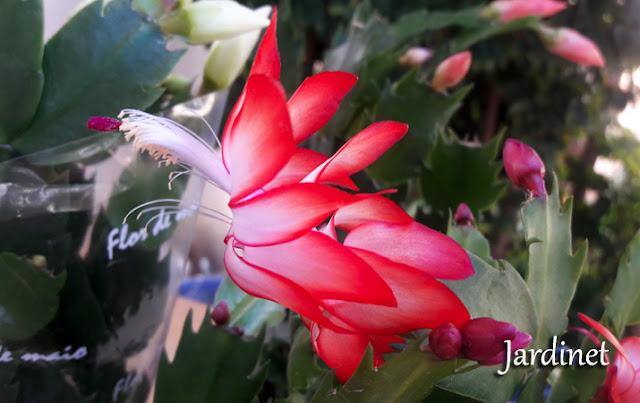 Flore-de-maio vermelha