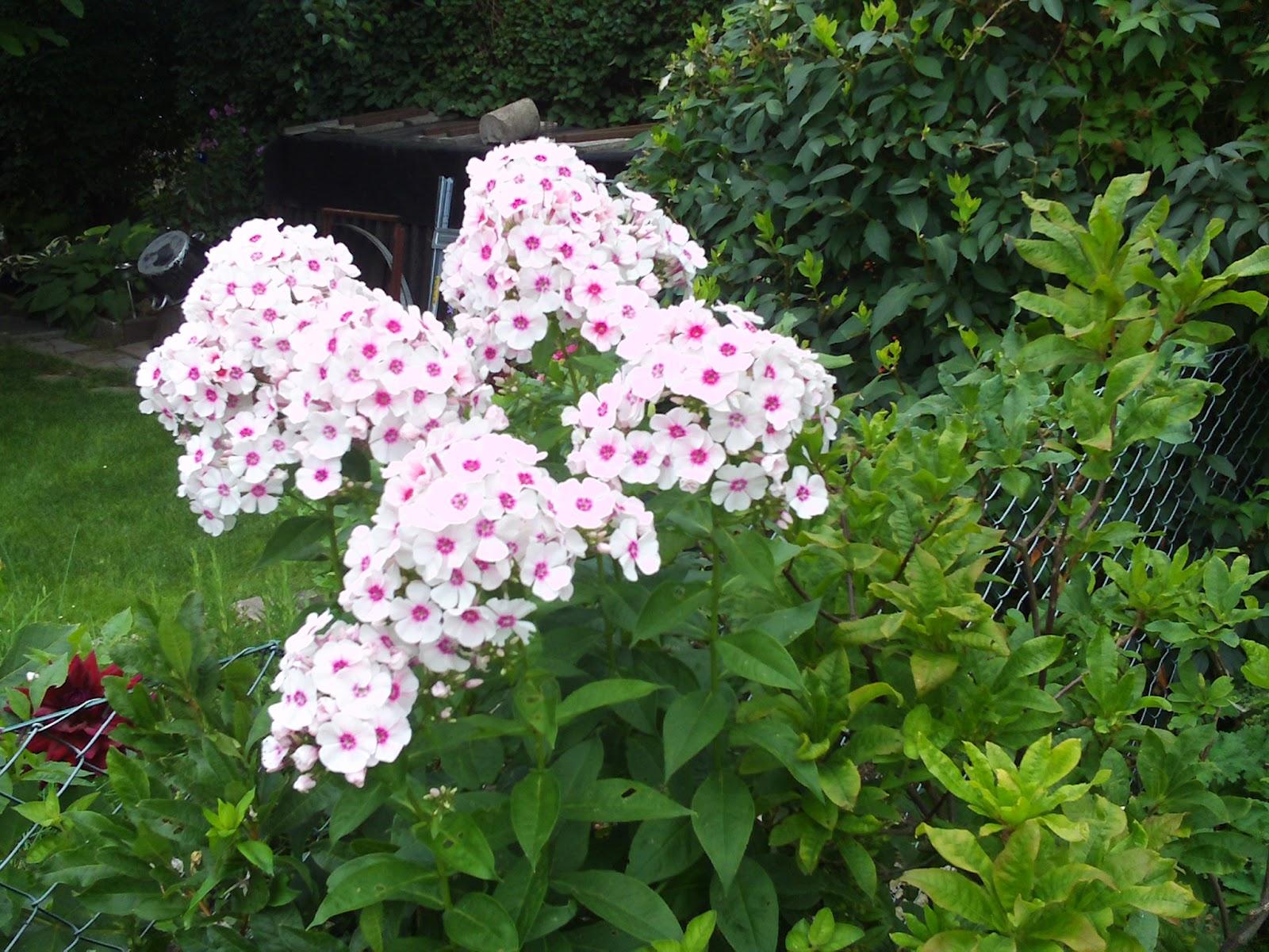 Sommerblumen  Gartenelfe