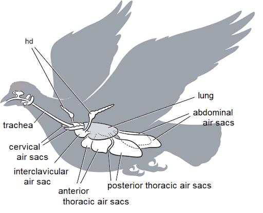 Bird-Respiratory-System