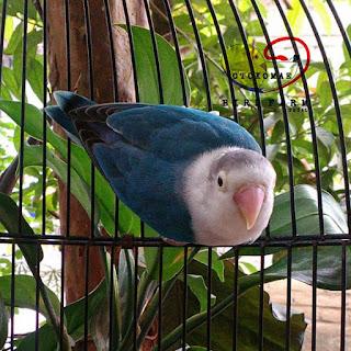 harga lovebird cobalt
