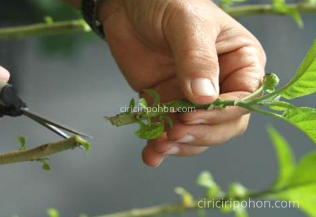 Ciri Ciri Pohon Bonsai Stek Batang