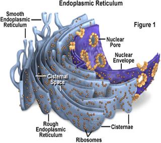 Gambar retikulum endoplasma (re) dan keterangannya