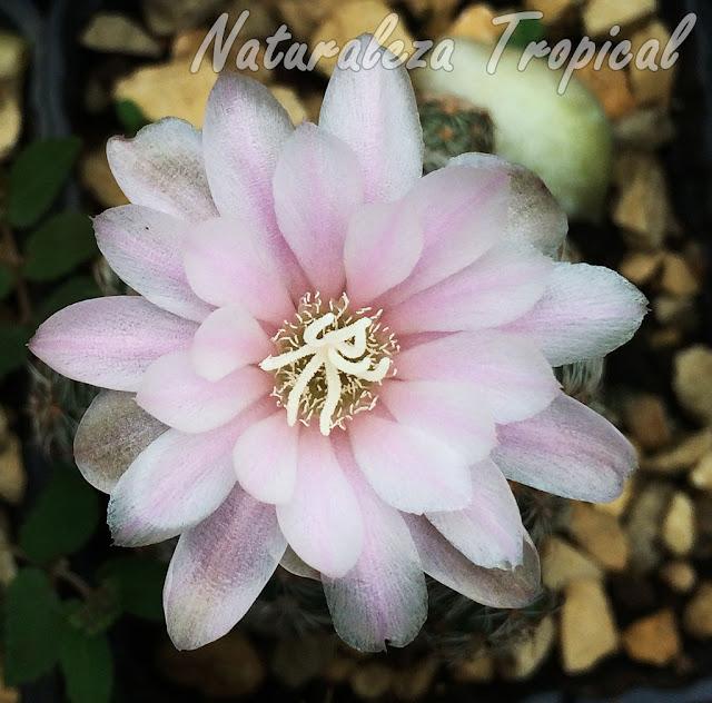 Detalles de la flor del cactus Gymnocalycium bruchii
