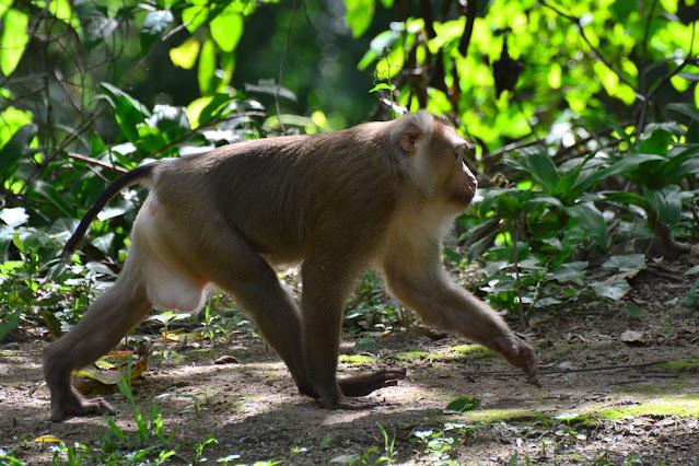 Macaca leonina