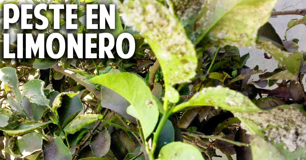 Limones apestados con mancha algodonosa y hormigas mosca blanca del c trico como controlarla - Como eliminar hormigas del jardin ...
