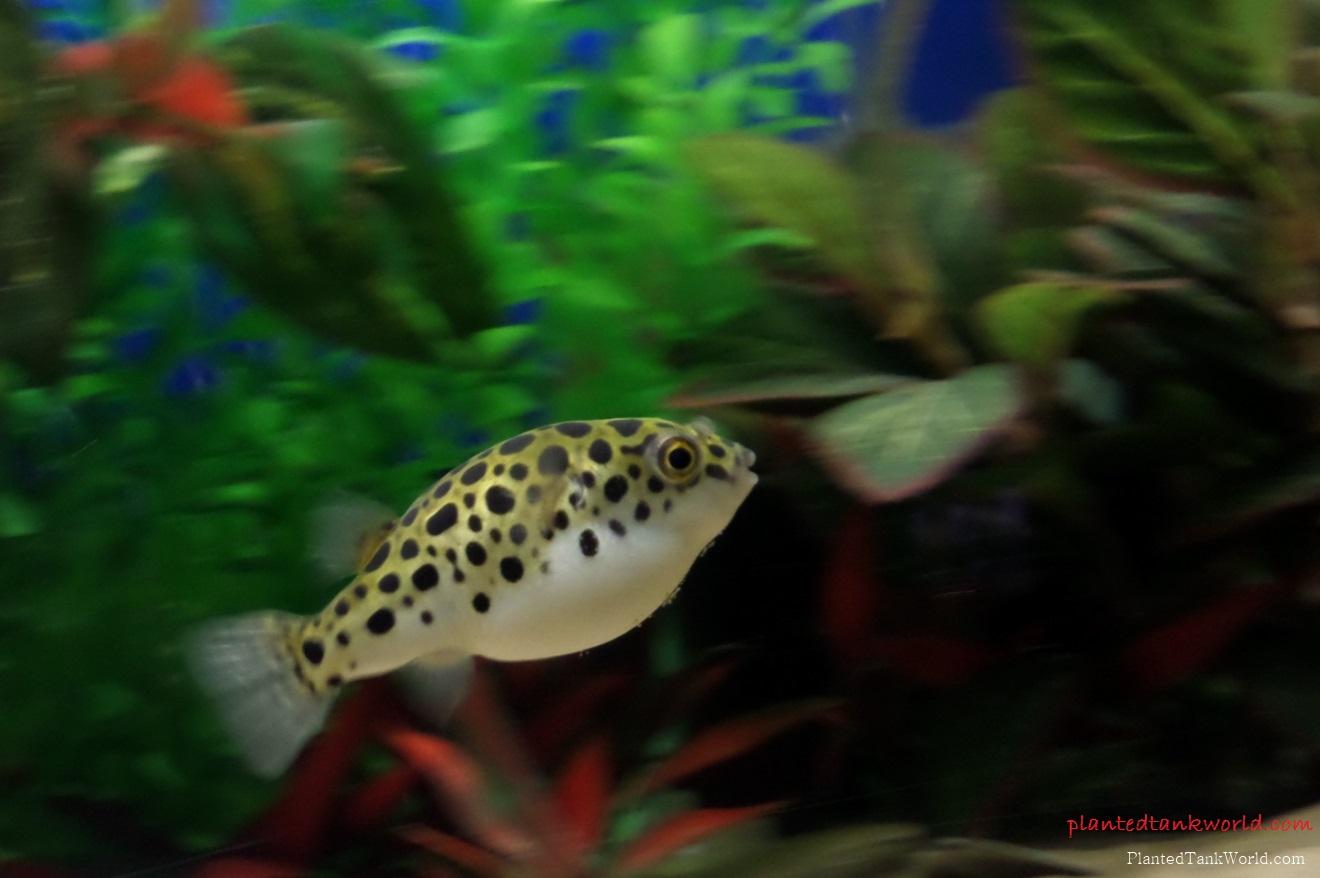 Gambar, Foto Ikan Buntal air Tawar Jenis Ikan Hias Tawar Yang Berwarna Hijau