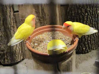 Lutino Peach Faced Lovebirds At Bird Kingdom Niagara Falls